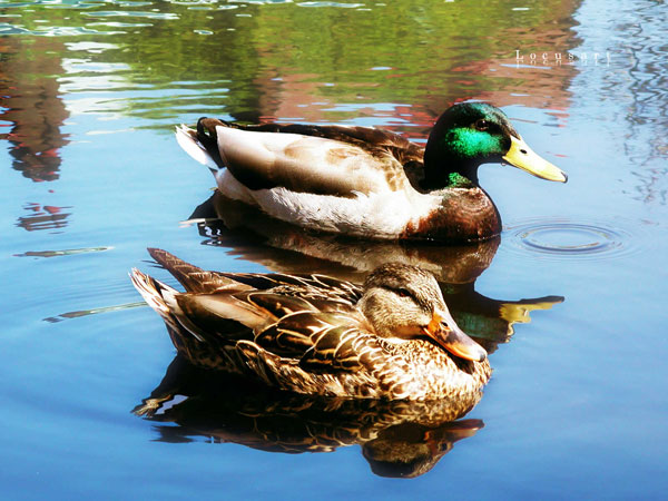Peaceful Ducks