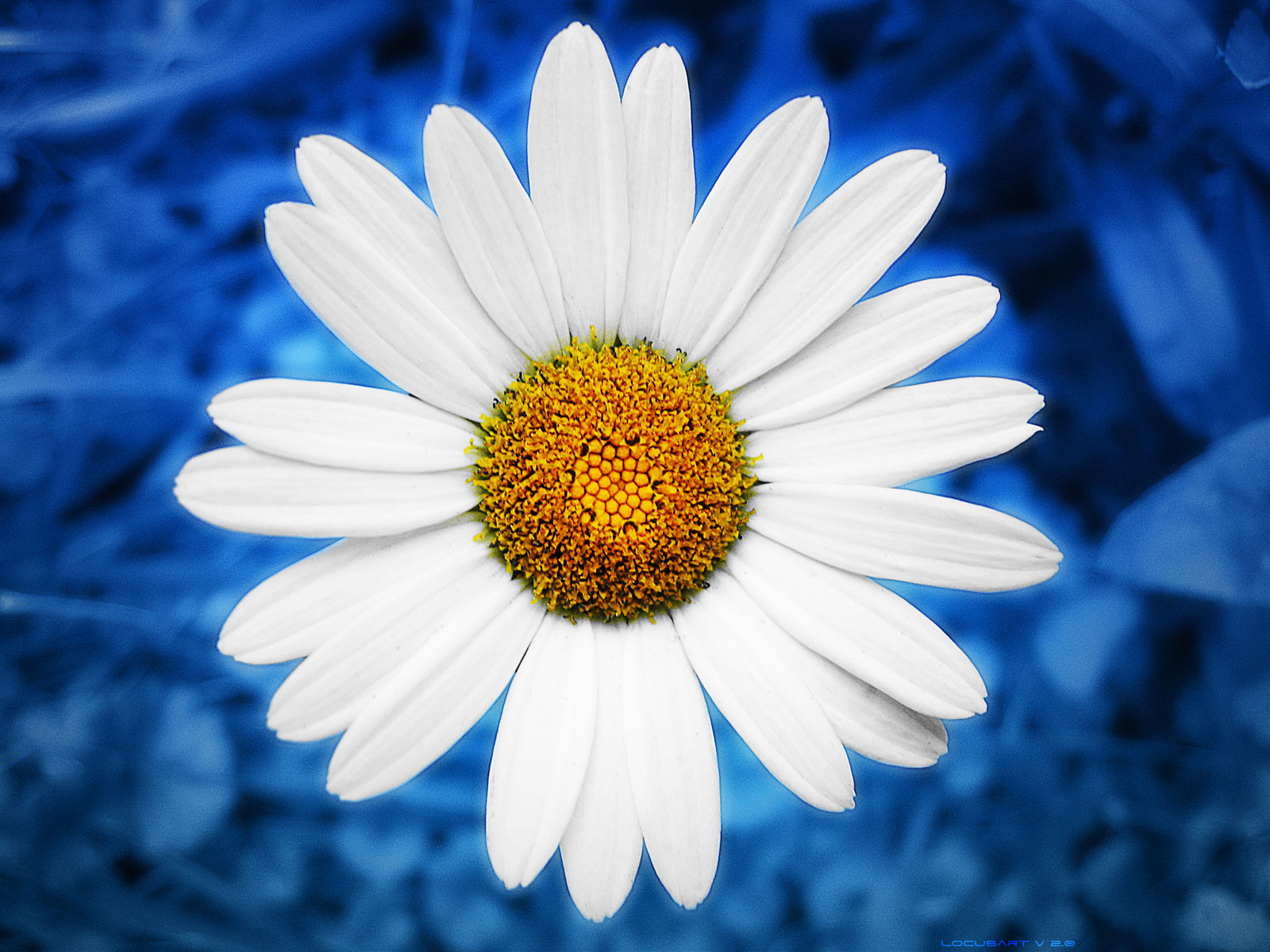 LocusArt Photography Wallpaper - Energy Blue Daisy