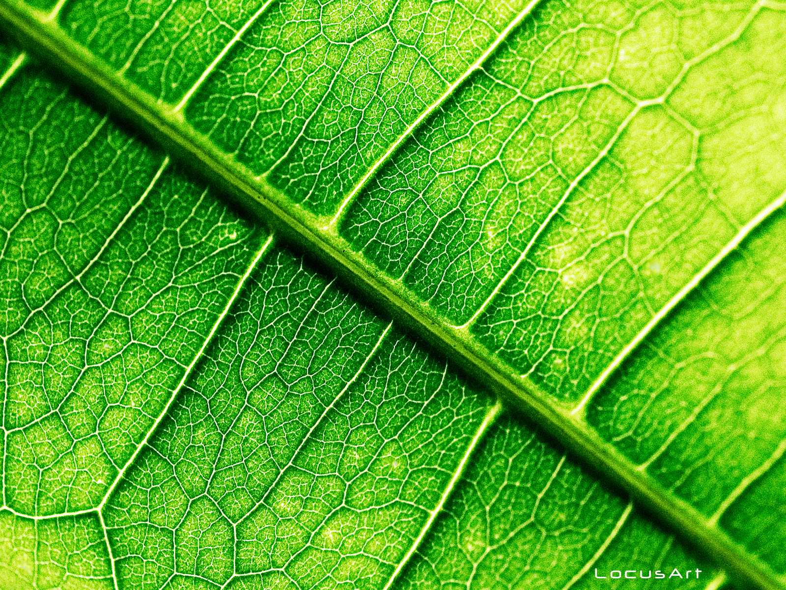 LocusArt Photography Wallpaper - Macro Leaf
