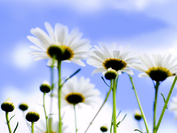 wallpapers sky. Sky Daisy
