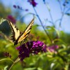 Yellow Butterfly Waiting