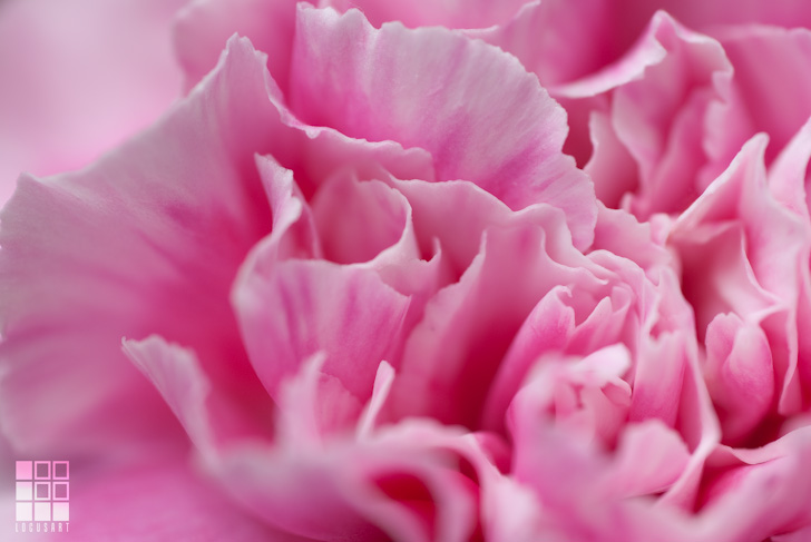 Cotton Candy Pink Carnation